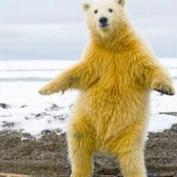 polar_bär
