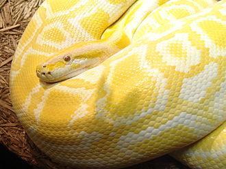 Gelbe Schlange