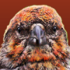 Crossbill's Photo